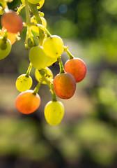 A Few Left Hanging (fotostevia) Tags: fruit vineyard grapes bethanyvineyard pentaxart