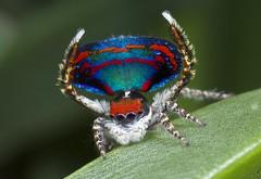 _X8A6572 peacock spider Maratus caeruleus (Jurgen Otto) Tags: