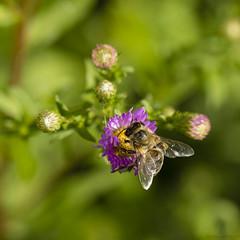 Abeille sur aster (Mariette80) Tags: macro 100mm asters abeille insecte