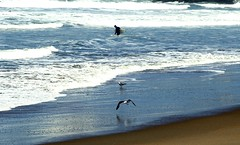 Surfer and seagull at Ocean Beach, San Francisco, CA, USA. (SETIANI LEON) Tags: ocean sanfrancisco voyage california sea beach america canon eos san francisco unitedstates surfer seagull gull united journey 7d oceanbeach states unis californie goeland etatsunis etats amerique