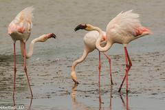 _DSC6053 (Elisabetta - Bettadi) Tags: park wild parco nature beautiful animals de reserve flamingos natura e di pont parc cavalli immense wildhorses allo camargue stato unspoiled gau fenicotteri bellissimo brado selvaggia immenso incontaminata natureiswonderful naturaeanimali camargueriservanaturalepont