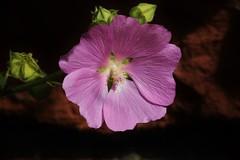 Wild Flower (Hugo von Schreck) Tags: hugovonschreck breitenborn hessen deutschland flower blume blüte macro makro canoneos5dsr tamron28300mmf3563divcpzda010