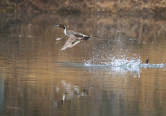 Northern Pintail Duck (drake) (slsjourneys) Tags: northernpintailduck duck pintail