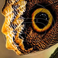Blue Morphos (VICTEC-FD) Tags: animalia arthropoda bokeh brassolini caligo enfoqueselectivo exposición0713 insecta lepidoptera nymphalidae fortuna alajuela costarica