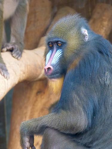 Paphos Zoo - mandrill  (5)