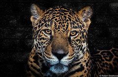 Against the Wall (Robert Streithorst) Tags: zoosofnorthamerica jagaur robertstreithorst sanantionozoo bigcat