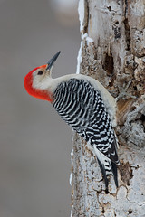 Yesterdays challenge: Woodpeckers.. (Earl Reinink) Tags: bird woodpecker niagara winter snow earl reinink earlreinink nikon redbelliedwoodpecker heedoatdia