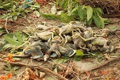 Dead chicks (Saleh Reza) Tags: bird ecology university disaster imaging ru rajshahi pakhi