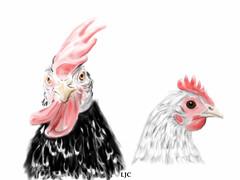 Ancona Chicken and Australorp Bantam (popjoy) Tags: chicken bantam australorp ancona ipad
