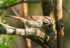 Song Sparrow (Diane Marshman) Tags: brown white tree bird nature face spring breast head pennsylvania song wildlife chest small stripe feathers tan rusty pa sparrow streaked northeast alder songbird