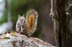 Caught red handed (acreativename) Tags: squirrel grandtetonnationalpark