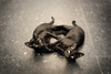Krung Thep, the City of Angels (slow paths images) Tags: travel light portrait cats playing black beauty thailand twins asia southeastasia floor bangkok double gaze krungthep amuletmarket thecityofangels fredcan