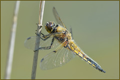 Four-spotted Chaser (image 2 of 3) (Full Moon Images) Tags: macro nature insect dragonfly wildlife bcn reserve national trust fen cambridgeshire chaser woodwalton fourspotted nnr greatfen greatfenproject