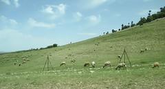 Middle Atlas Mountains Landscape (Meknès-Tafilalet Region, Morocco) (courthouselover) Tags: animals landscapes sheep atlasmountains morocco maroc المغرب middleatlasmountains almaghrib meknèstafilalet meknèstafilaletregion régiondumeknèstafilalet