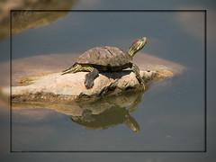 On the Rocks (gtncats) Tags: park nature reflections turtle potofgold amazingmoments photographyforrecreation allnaturesparadise infinitexposure