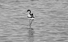 Avocet in Black and White (Rovers number 9) Tags: june spring sony lancashire a77 avocet 2014 rspbleightonmoss sonya77 june2014