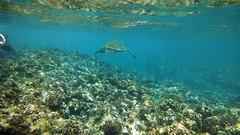 Black Rock, Maui (pr0digie) Tags: beach coral underwater maui snorkeling seaturtle blackrock kaanapali