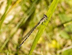 White Legged Damselfly (Triker-Sticks) Tags: nature insect wildlife sandy bedfordshire reserve invertebrate thelodge rspb whiteleggeddamselfly wildlifewednesday copyrightpwinterford2014