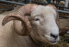 Sheep - grinning? (ajf.350d) Tags: white wool animal sheep farm cream horns curly