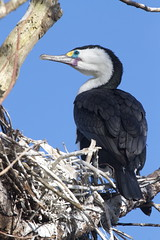 Karuhiruhi - pied shag - Phalacrocorax varius (Steve Attwood) Tags: newzealand bird nature canon nest wildlife canterbury cormorant shag phalacrocoraxvarius phalacrocorax piedshag karuhiruhi