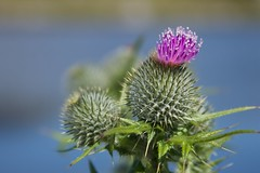 Thistle (Augmented Reality Images (Getty Contributor)) Tags: flowers summer mountains beach nature birds islands scotland sand panoramas views oban harris barra isles hebrides southuist outerhebrides eriskay northuist bernary
