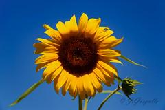 Girasol (J.Gargallo) Tags: espaa planta azul canon amarillo cielo girasol castelln comunidadvalenciana eos450d canon450d canonefs18200