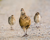 Grey partridge (mnielsen9000) Tags: chicks hen greypartridge perdixperdix