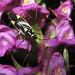 Grypocoris sexguttatus o stysi  sobre la orquídea fragante (Gymnadenia conopsea )