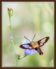 Starbucks on a stem (Carolyn Lehrke) Tags: usa nature fauna wow stem weed flora moth meadow wv starbucks wildflower hummingbirdmoth nikond3200 chickory clearwing greenbriercounty ronceverte