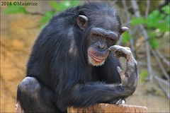 Chimpanzee (Mantrize) Tags: rain forest leopardo monkey kim cola gorilla tiger ernst lola leopard lemur borneo orangutan natalia hippo chimpanzee colobus malaga tigre noelia kika fuengirola gorila brazza binturong hipopotamo chimpance pigmy gibon bioparc pigmeo colobo potamoquero giboon nillada