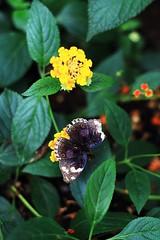 js1024_Butterfly_14