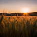 Sunset on the wheat field