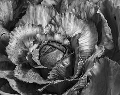 Regarding The Cabbage - Black and White (Bill Gracey) Tags: blackandwhite blancoynegro garden shadows vegetable shades chou textures cabbage tones sidelighting directionallight offcameraflash repollo lastoliteezbox yn560 yongnuorf603n