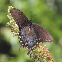 Eastern Tiger Swallowtail - Black Female (PCBraynard) Tags: butterfly butterflies easterntigerswallowtail blackswallowtail
