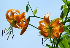orange lilies (wundoroo) Tags: flowers summer sky orange newyork lily bronx july nybg newyorkbotanicalgarden perennialgarden