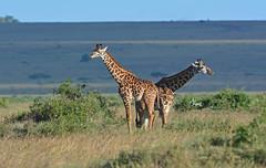 Masai Giraffes - 2475b+ (jenonsafari) Tags: landscape october mara giraffes giraffe savannah masai masaimara kenyasafari africansafari landscapephotography africanwildlife africasafari masaigiraffe 2013 kenyaafrica africanlandscape africawildlife africalandscape kenyawildlife masaimaraplains savannahplains masaimarasavannah