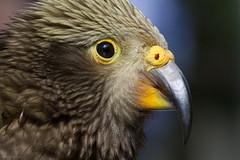 Juvenile Kea Close Up (Mark Dumont) Tags: bird birds animals zoo mark cincinnati kea dumont explored