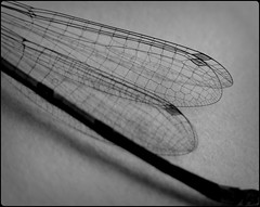 Wings of a dragonfly (Landanna) Tags: bw white black texture dragonfly zwart wit libelle sort hvid zw wingsofadragonfly