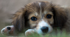 Pupppy Eyes (Bhavishya Goel) Tags: dog puppy greece stray serres puppyeyes cuteeyes lithotopos