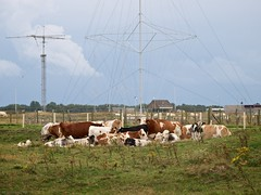 Troepje koeien in de Westduinen (ednl) Tags: summer netherlands outdoors evening cattle cows dunes nederland august zomer avond duinen bewolkt antenne antenna augustus buiten ouddorp goedereede redandwhite koeien clouded goereeoverflakkee 2014 langedijk roodbont southhollandprovince westduinen provinciezuidholland kopvangoeree klarebeekweg