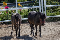 Pony Friends (Heidi Schuyt) Tags: horses horse cute bay pony ponies equine paddock darkhorse sprucemeadows turnout