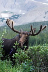 A moose bull grazes with the mountains in the background