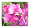 Pretty Shade Of Pink (bigbrowneyez) Tags: pink flowers light nature beautiful soft pretty bright sweet shimmery gorgeous blossoms sunny natura dolce precious lovely elegant fiori delicate belli luce silky delightful blushing sweetpeas bellissimi prettyshadeofpink