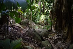 Valle de Mai (Sternidae) Tags: palm jungle seychelles praslin cocodemer
