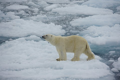 Polar bear travelling on sea ice (Alex Cowan) Tags: travel sea ice expedition wildlife pole svalbard arctic polarbear polar seaice 2014 uploadedviaflickrqcom