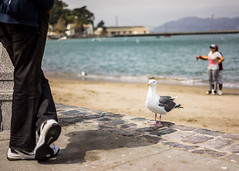 Poser (Diueine) Tags: sanfrancisco california travel zeiss prime seagull sony 55mm carl f18 2014 a7r 7r sel55f18z
