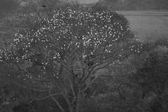 Paineira (1239) (Jorge Belim) Tags: flora flor pb árvore 70200 canoneos50d