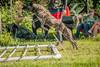 MDH-3050 (Highway0311) Tags: jason dutch cali work french photography highway shepherd echo canine des ring sniper devo bite zippy karma mali davis malinois jumps k9 chino decoy kharma esquive highwayphotography