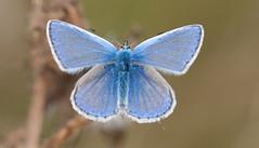 Common blue  -  Elmley (sparrowhawk143) Tags: