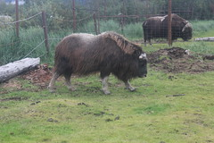 IMG_3354 (armadil) Tags: alaska wildlifeconservancy muskox alaskawildlifeconservationcenter girdwood wildcon090514